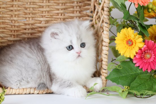 Silver and White Teacup Persian kitten