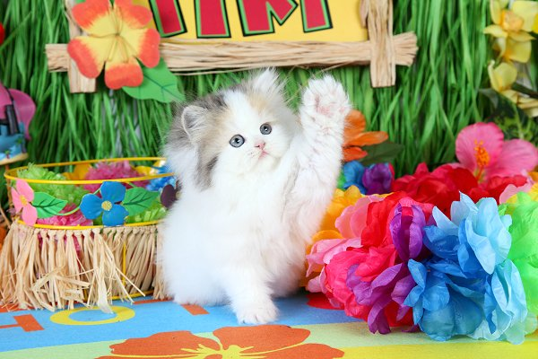 High White Calico Patchwork Teacup Persian Kitten