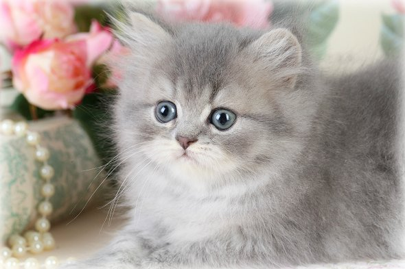 Blue Smoke Teacup Persian Kitten for sale BlueberryPre ...