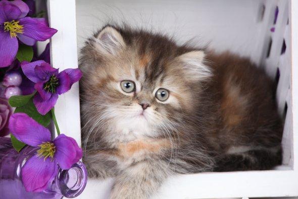 Shaded Golden with Cream Persian Kitten