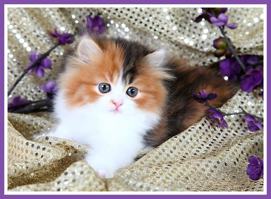Classic Calico Persian Kitten