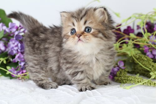 Shaded Golden Persian Teacup Rug Hugger Kitten