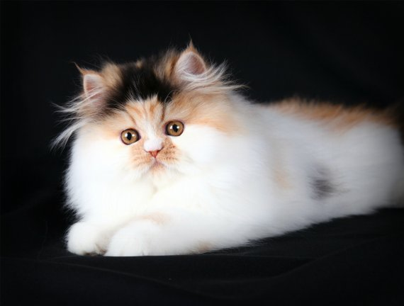High White Calico Persian kitten