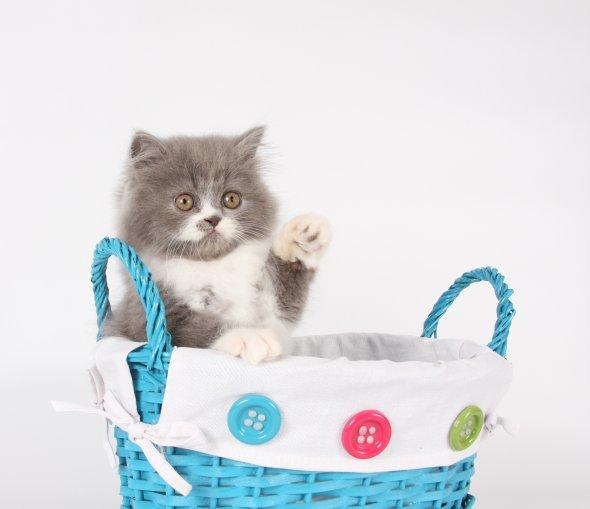 Blue White Persian Kittens