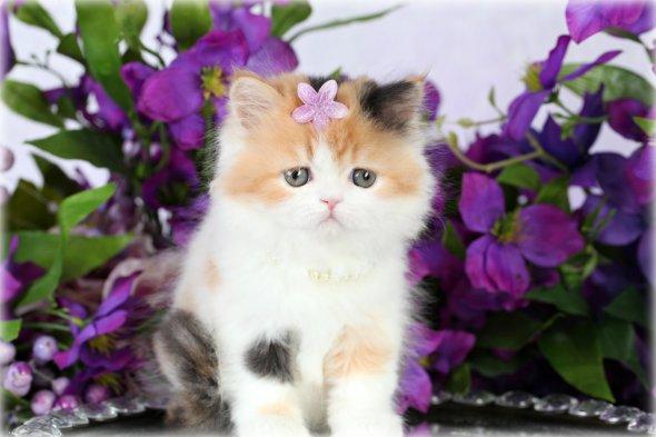Calico Persian Kittens | Calico Persian Cats | Calico Cats ...