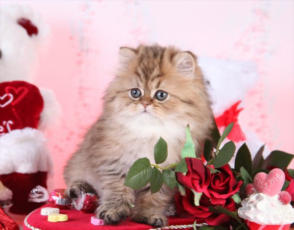 Chinchilla Golden Teacup Persian Kitten