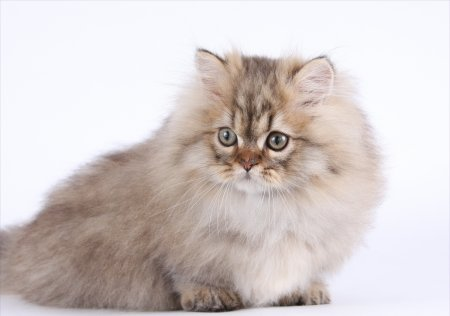 Golden Chinchilla Teacup Rug Hugger Persian Kitten