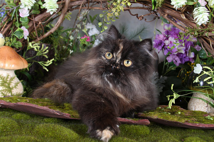 Tortoiseshell Teacup Persian Kittens