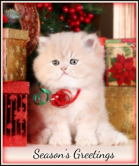 Cream Teacup Persian Kittens