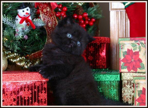 Black Doll Face Persian Kitten
