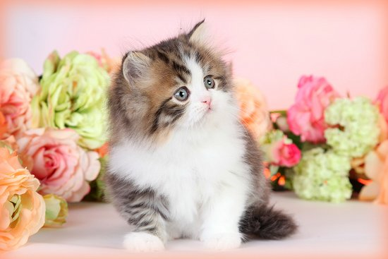 Shaded Golden & White Teacup Persian Kitten