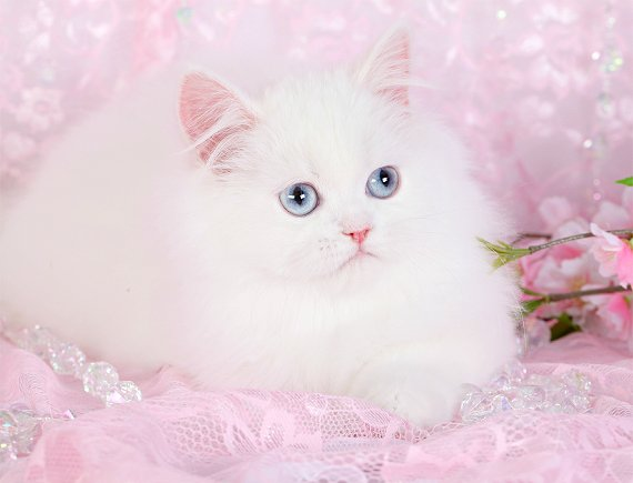 Pure White Persian Cat