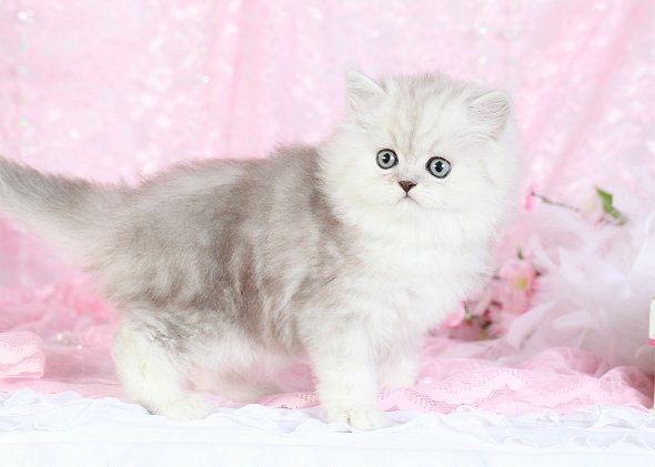 Lightly Shaded Silver & White Teacup Persian kitten