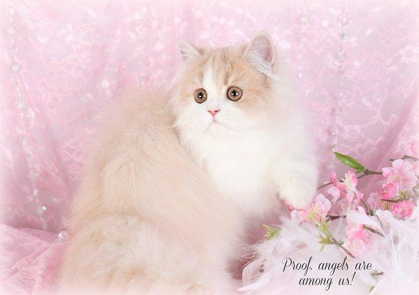 Cream & White Bicolor Persian Kitten