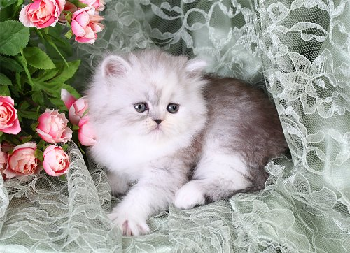 Shaded Silver & White Teacup Persian Kitten