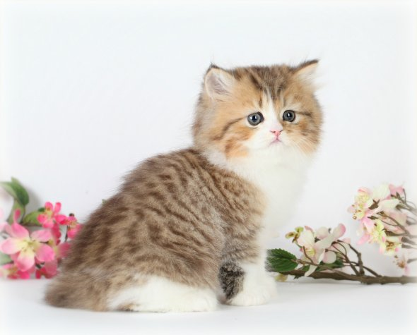 Chinchilla Golden & White Teacup Persian Kitten