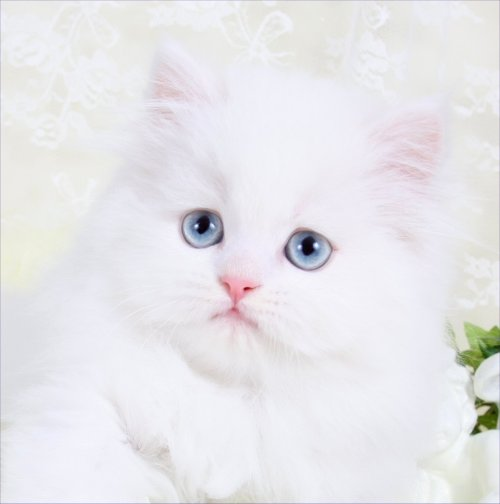 Cashmere White Persian kitten
