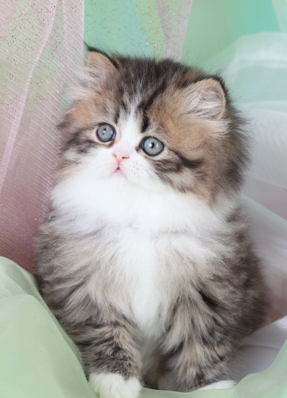 Shaded Golden Teacup Persian Kitten ~ Ultra Rare Persian ...