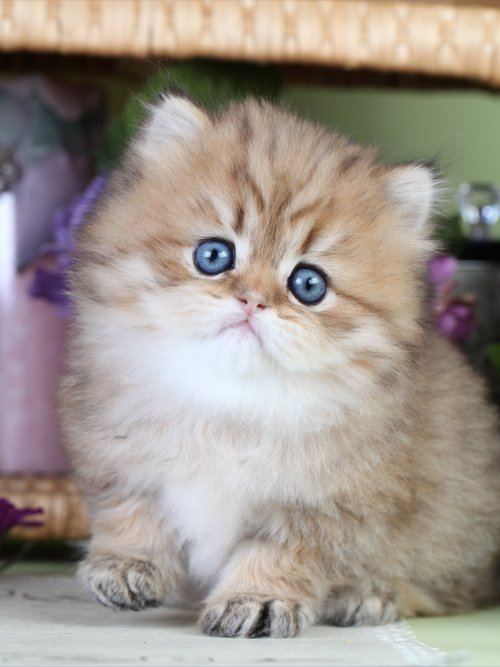 Golden Kittens | Shaded Golden Persian Kittens ...