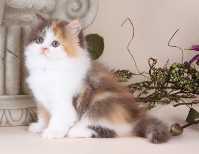 Chocolate Calico Teacup Persian Kitten