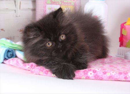 Black Rug Hugger Persian Kitten