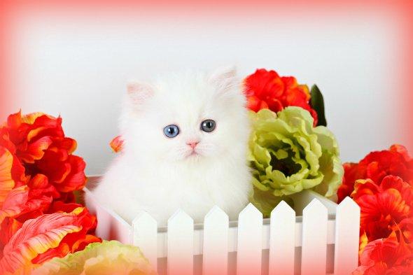 Bi-Eyed Cashmere White Teacup Persian Kitten