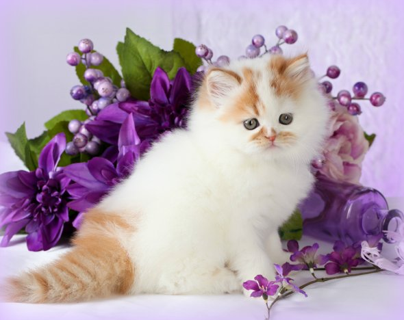 Red & White Patchwork Toy Persian Kitten