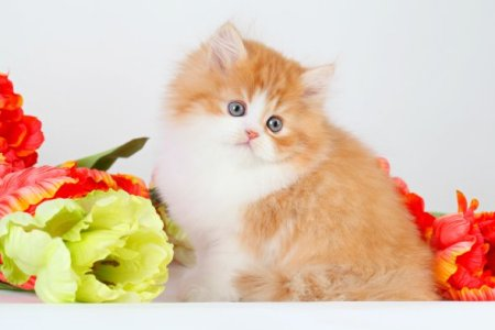 Red and White Teacup Persian Kittens