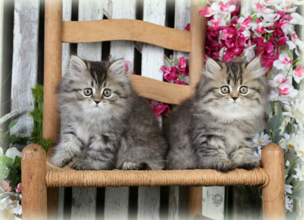 Shaded Golden Toy Persian Kittens