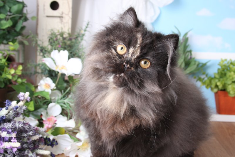 Adopt persian cat nj