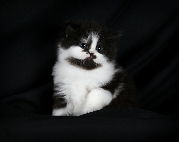 Black & White Bicolor Persian Kitten - Doll Face Persian Kittens
