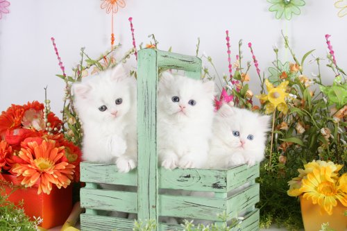 Cashmere White Teacup Persian Kittens