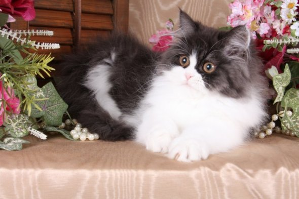 Black & White Toy Persian Kitten