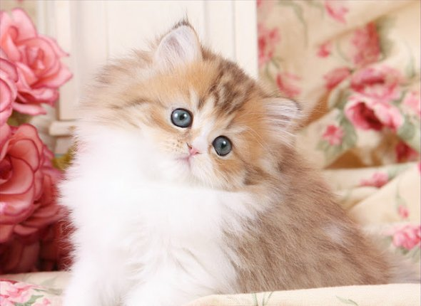 Chinchilla Golden & White Teacup Persian Kitten ~ Ultra ...