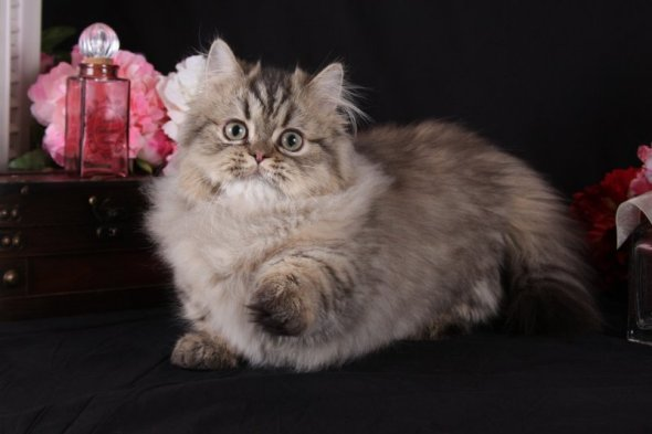 Shaded Golden Teacup Rug Hugger Persian Kittens