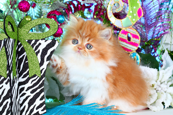 Red and White Bicolor Teacup Persian kitten