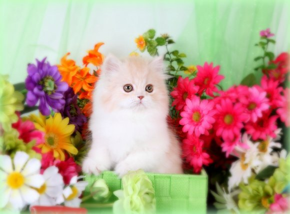 Cream & White Teacup Persian Kitten