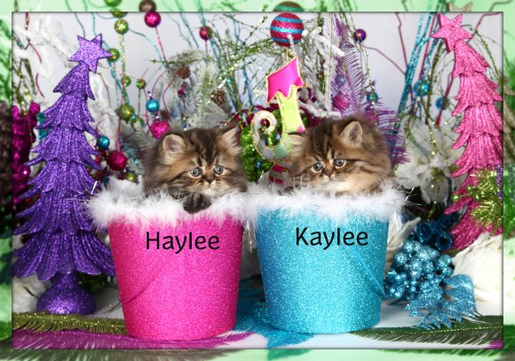 Tabby Teacup Persian kittens