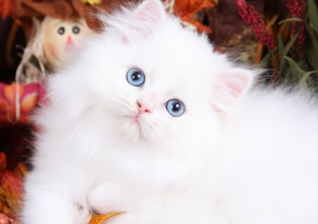 Super White Fluffy Cat