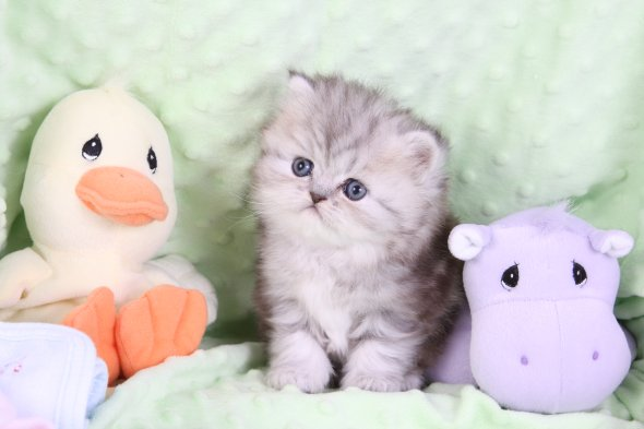 Silver Persian Kittens For Sale - Doll Face Persian ...
