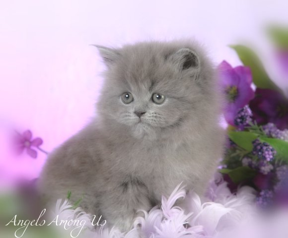 Blue Persian Kittens Photo Gallery Gray Kittens Grey Kittensdesigner Persian Kittens For Sale Luxury Kittens 660 292 2222 660 292 1126 Shipping Available