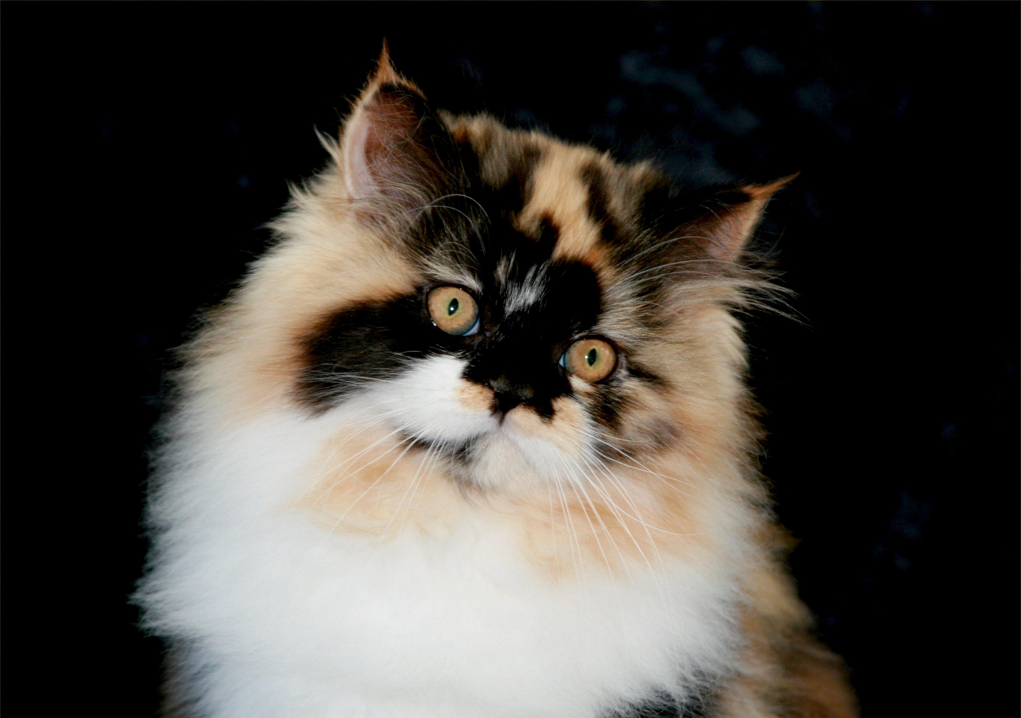 Calico Persian kitten Ultra Rare Persian Kittens For Sale 660