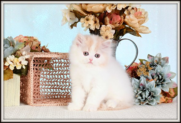 Cream & White Teacup Persian Kittens For Sale
