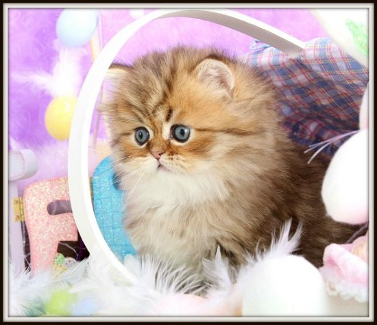Chinchilla Golden Teacup Persian