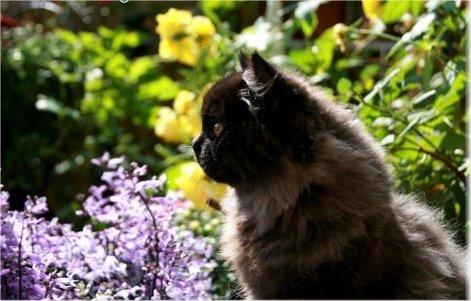 Black Teacup Persian Kitten