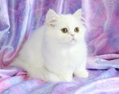 Cashmere White Rug Hugger Kitten - Doll Face Persian Kittens