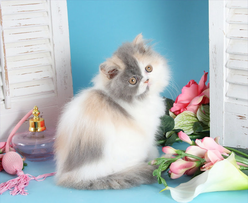 Dilute Calico Patchwork Teacup Persian Kitten