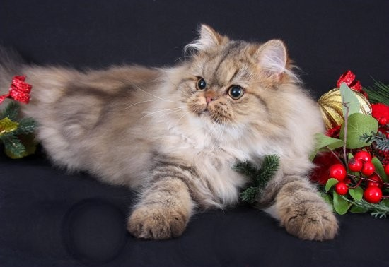 Chinchilla Golden Persian Kitten