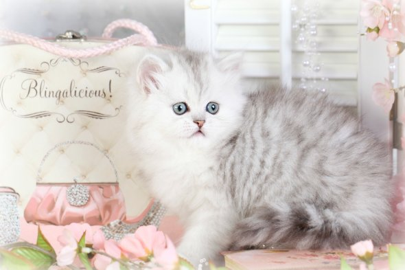 Silver Chinchilla & White Teacup Persian kitten