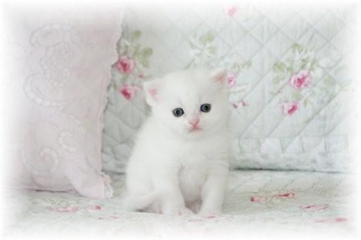 Kitten Short Hair Short Hair Persian Kitten